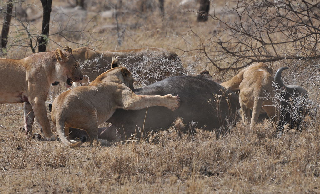 1024px-Lions_taking_down_cape_buffalo