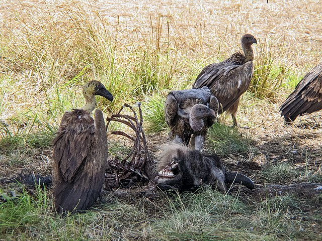640px-White-backed_vultures_eating_a_dead_wildebeest